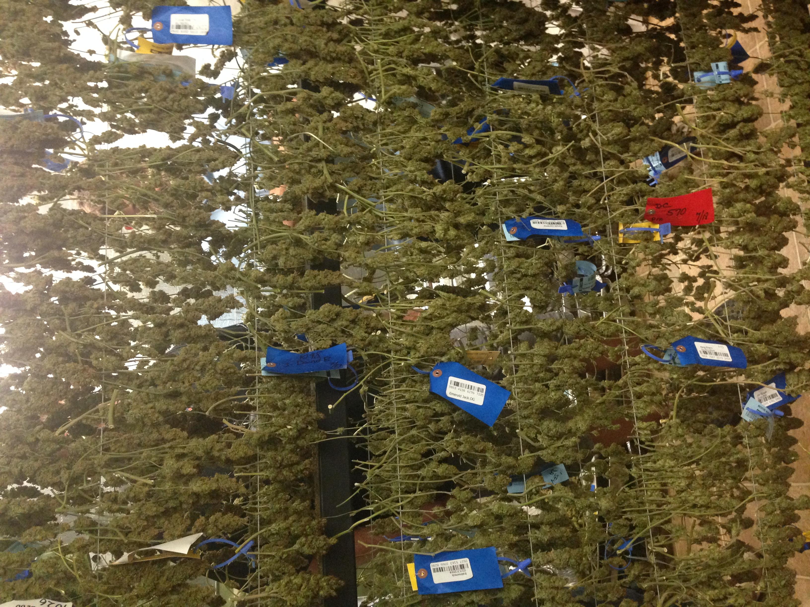 RFID tags on drying marijuana flowers