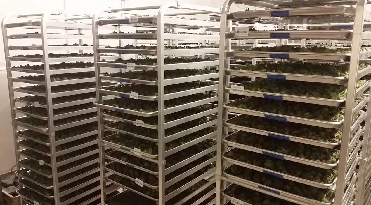 marijuana buds drying in racks biotrackthc