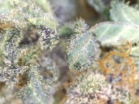 trichome close up