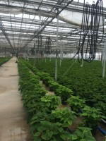 Poinsettias ready for distribution at Edible Garden facility in Belvidere, New Jersey