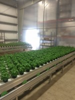 Basil plants ready for packaging and shipping at the Edible Garden facility in Belvidere, New jersey