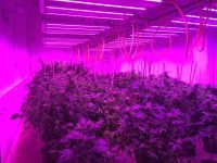 A cultivation operation in Maine using GS Thermal Solution liquid-cooled LED fixtures