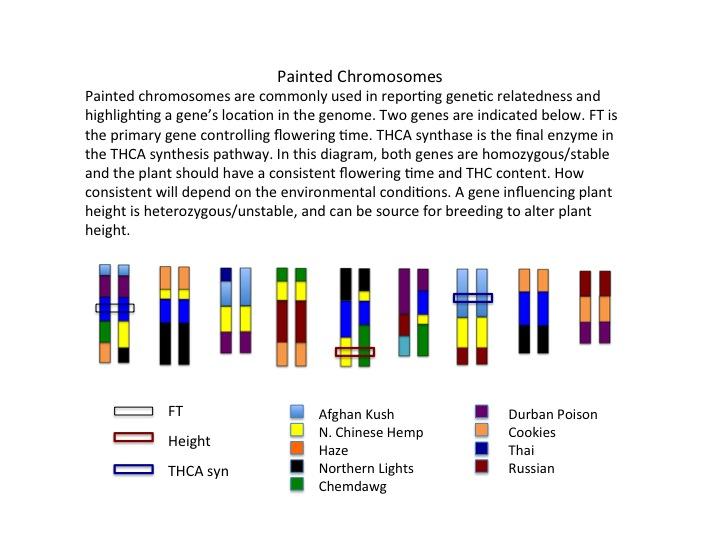 geneticspaintedchrom