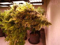 Some claim the yield is less from LED lights during flowering.