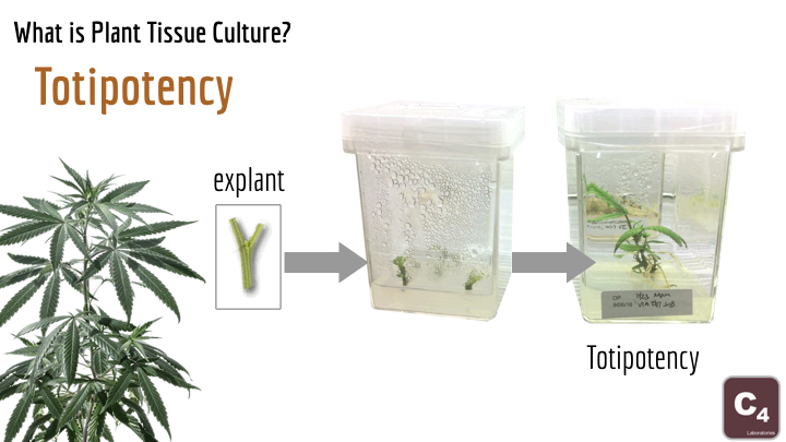 tissue culture Archives | Cannabis Industry Journal